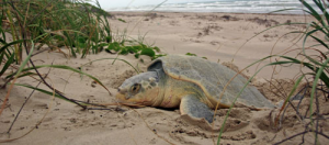 Loggerhead Sea Turtle nesting area at Fort Myers Beach, FL: courtesy of University of Delaware