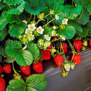 Strawberries (Fragaria sp.)
