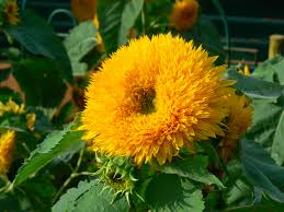 This fuzzy looking thing calls itself a sunflower