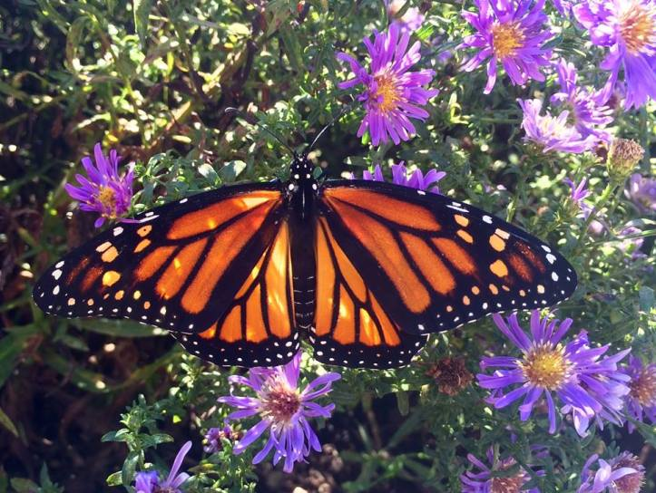 monarch-with-asters-_