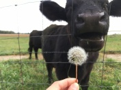 A dandelion I fed to one of the male cattle.